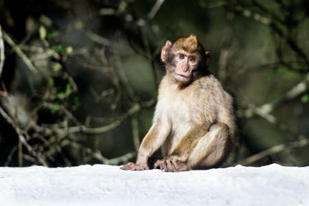 barbary ape: Barbary macaque in Gibraltar, the only place in Europe to live in freedom.