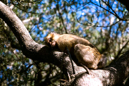 barbary ape: Barbary macaque asleep in Gibraltar, the only place in Europe to live in freedom. Stock Photo