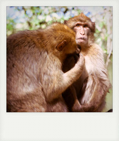 barbary ape: Instant photo of Barbary macaque in Gibraltar, he only place in Europe to live in freedom.