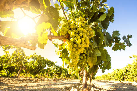 White wine grapes in vineyard on a sunny day 스톡 콘텐츠