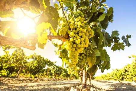 racimos de uvas: Uvas del vino blanco en la vi�a en un d�a soleado
