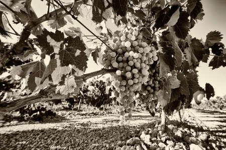sauvignon blanc: Vineyard grapes in black and white