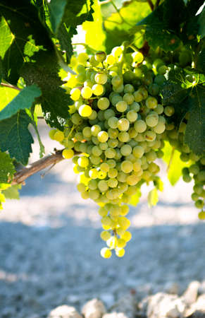 sauvignon blanc: White wine grapes in vineyard on a sunny day Stock Photo