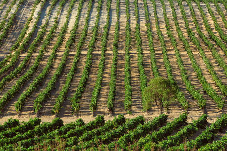 sherry: Vineyard with grapes in sunny day