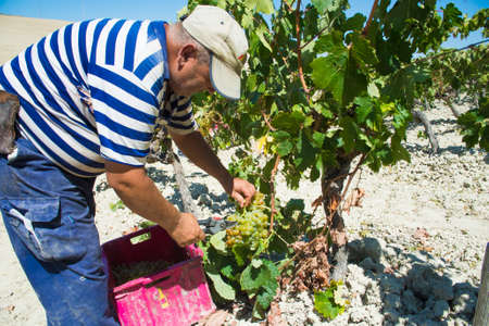 manually: JEREZ DE LA FRONTERA, SPAIN - AUGUST 21: People doing manually harvest of white wine grapes on aug 21, 2014 in Jerez de la frontera Editorial