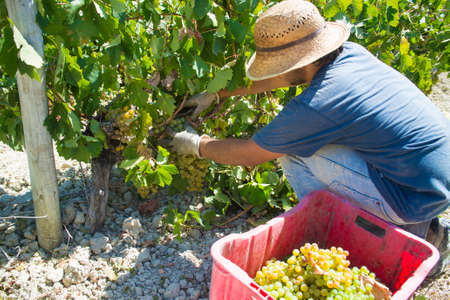 manually: JEREZ DE LA FRONTERA, SPAIN - AUGUST 21: People doing manually harvest of white wine grapes on aug 21, 2014 in Jerez de la frontera Editorial