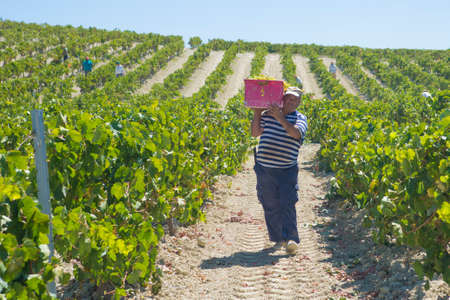 jerez de la frontera: JEREZ DE LA FRONTERA, SPAIN - AUGUST 21: People doing manually harvest of white wine grapes on aug 21, 2014 in Jerez de la frontera Editorial