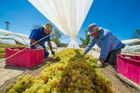soleus: JEREZ DE LA FRONTERA, SPAIN - AUGUST 21: Farm worker putting grapes Pedro ximenez for soleus to turn into raisins and make sweet wine PX. on aug 21, 2014 in Jerez de la frontera Editorial