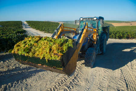 jerez de la frontera: JEREZ DE LA FRONTERA, SPAIN - AUGUST 26: Tractor collecting white wine grapes at harvest on aug 26, 2014 in Jerez de la frontera