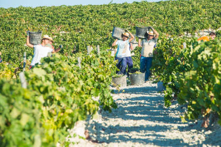 JEREZ DE LA FRONTERA, SPAIN - AUGUST 26: People doing manually harvest of white wine grapes on aug 26, 2014 in Jerez de la frontera 新聞圖片