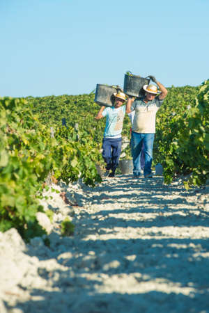 manually: JEREZ DE LA FRONTERA, SPAIN - AUGUST 26: People doing manually harvest of white wine grapes on aug 26, 2014 in Jerez de la frontera Editorial