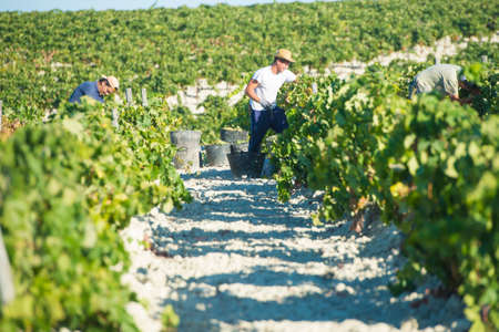 jerez de la frontera: JEREZ DE LA FRONTERA, SPAIN - AUGUST 26: People doing manually harvest of white wine grapes on aug 26, 2014 in Jerez de la frontera Editorial