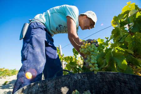 manually: JEREZ DE LA FRONTERA, SPAIN - AUGUST 26: People doing manually harvest of white wine grapes on aug 26, 2014 in Jerez de la frontera Editorial