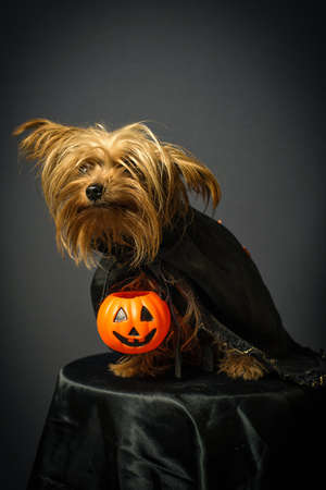 Portrait of dog in disguise for Halloween 版權商用圖片