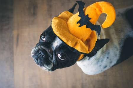 angry dog: Retrato de bulldog francés con sombrero de Halloween