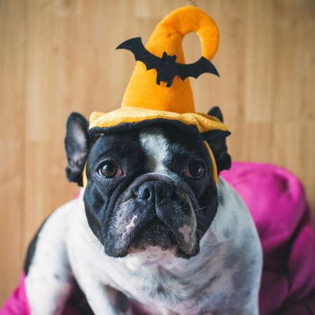 bulldog: Retrato de bulldog francés con sombrero de Halloween