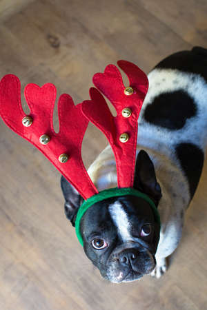 christmas costume: Dog dressed for Christmas with reindeer costume.