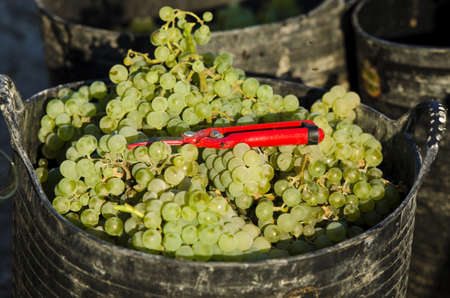 sauvignon blanc: Grapes in basket freshly picked at harvest