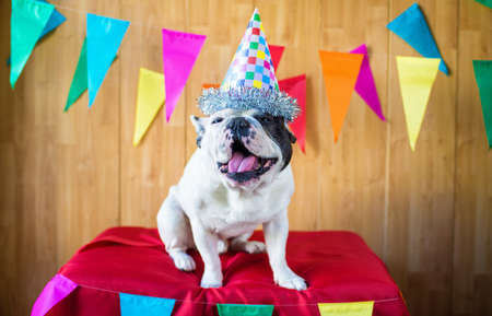 birthday adult: French bulldog dressed for birthday party or carnival.