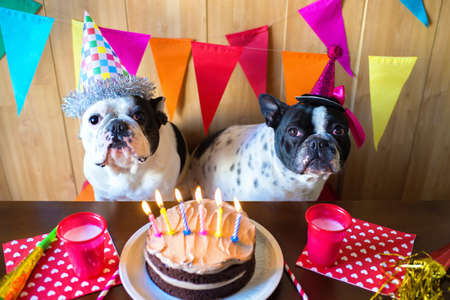 couple of French bulldogs on birthday party.