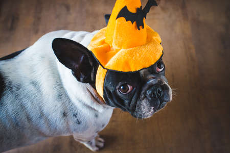 Portrait of dog in disguise for Halloween. Banque d'images