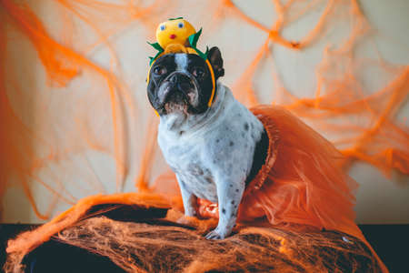 Portrait of dog with diadem of pumpkin  for Halloween. Stock Photo