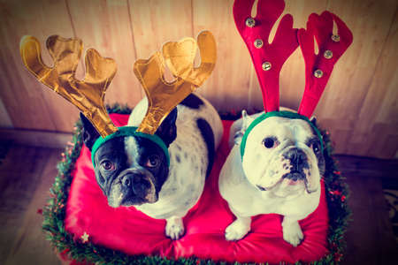 christmas costume: Dogs dressed for Christmas with reindeer costume.  Stock Photo