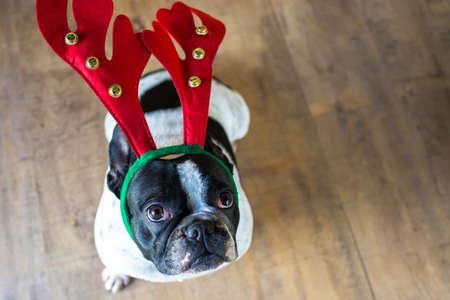 christmas costume: Dog dressed for Christmas with reindeer costume.