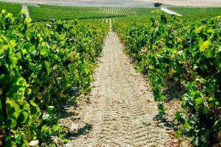 Landscape of flowering vineyard in sunny day Reklamní fotografie