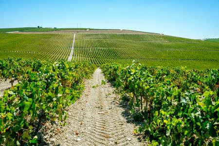 Landscape of flowering vineyard in sunny day