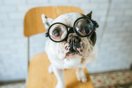 Portrait of french bulldogs breed dog with glasses. 免版税图像