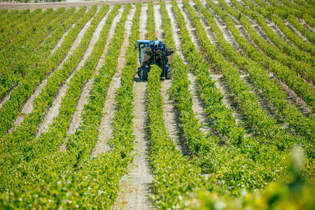 JEREZ DE LA FRONTERA, SPAIN - AUGUST 21: Landscape of mechanical harvest in the vineyard of white wine grapes on aug 21, 2014 in Jerez de la frontera