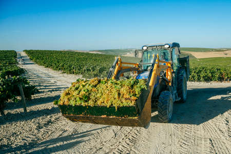 JEREZ DE LA FRONTERA, SPAIN - AUGUST 26: Tractor collecting white wine grapes at harvest on aug 26, 2014 in Jerez de la frontera