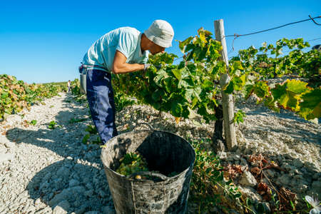 JEREZ DE LA FRONTERA, SPAIN - AUGUST 21: People doing manually harvest of white wine grapes on aug 21, 2014 in Jerez de la frontera Éditoriale