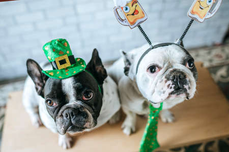 Couple of dogs with disguise for Saint Patricks Day