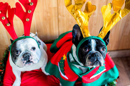 Dogs dressed for Christmas with reindeer costume.