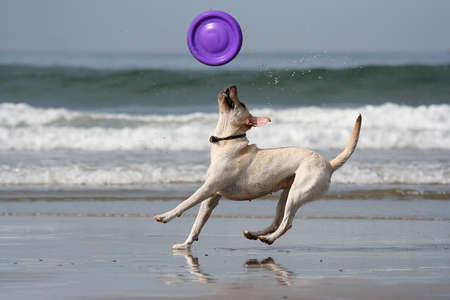 retrieve: dog catching the disc in the beach Stock Photo