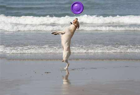 dog catching the disc in the beach Stock Photo