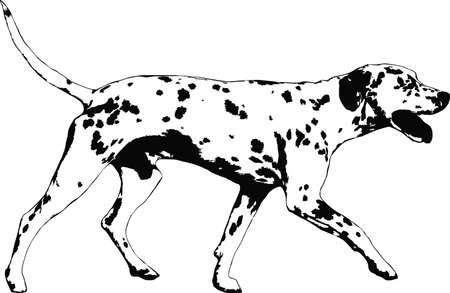 dalmatian: illustration of a dalmatian dog Illustration