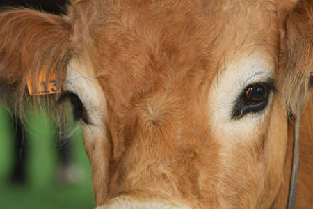 close-up of cow head Stock Photo - 3531986