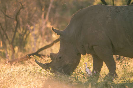conservation grazing: A grazing rhino backlit by the sun Stock Photo