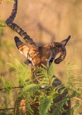 conservation grazing: An Impala with rare deformed horns peering out behind a bush
