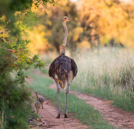 ostrich chick: A mother ostrich walking down the road with her chicks following Stock Photo