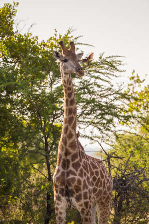 conservation grazing: A giraffe and a friendly Red Oxpecker bird Stock Photo