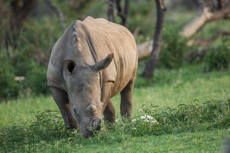 conservation grazing: A grazing white rhinoceros in a green grassland