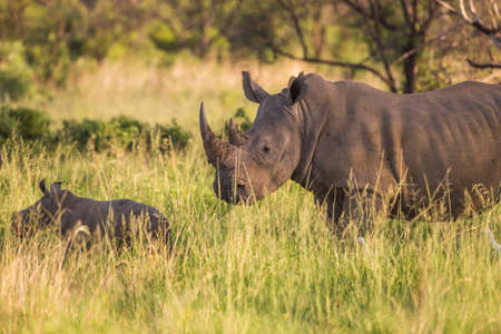 conservation grazing: A white rhino mother and her baby calf