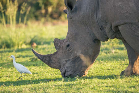 leading: A white rhino grazing with a cattle egret bird leading the way