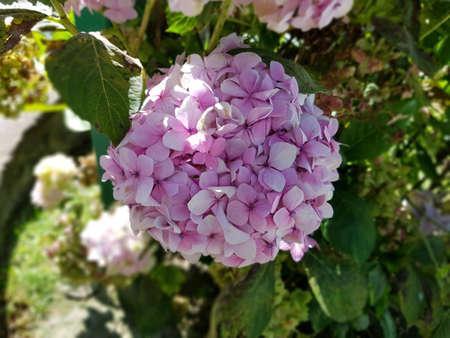 Roze hortensia bloem