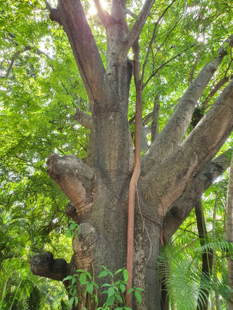 tropical tree trunk with tangled root of another tree