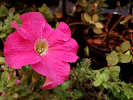 pink malbon flower in a garden in spring season